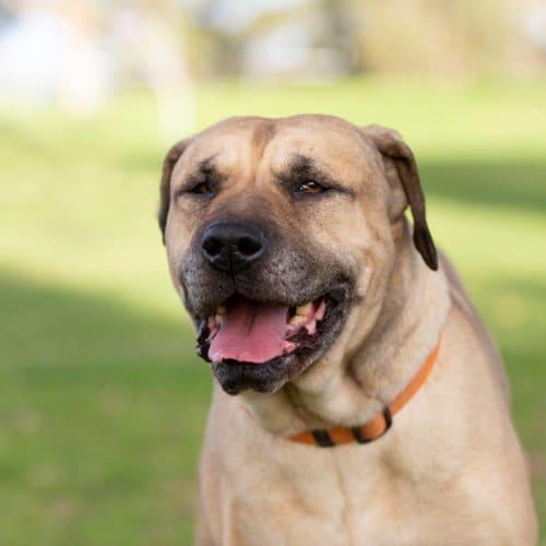 Freddie - Labrador x Staffy Dog