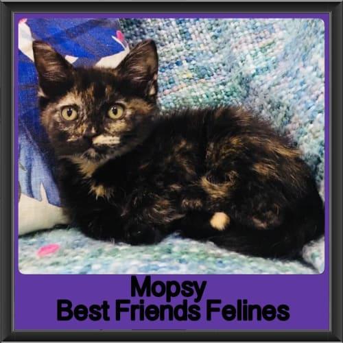 Mopsy - Ragdoll Cat