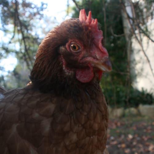 Pegasus -  Chicken