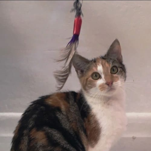 Wendy  - Domestic Short Hair Cat