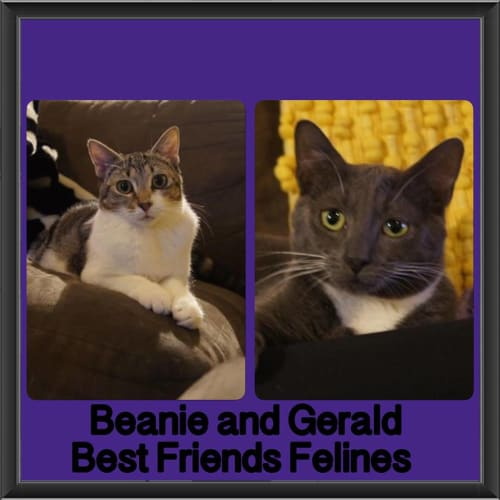 Beanie and Gerald  - Domestic Short Hair Cat