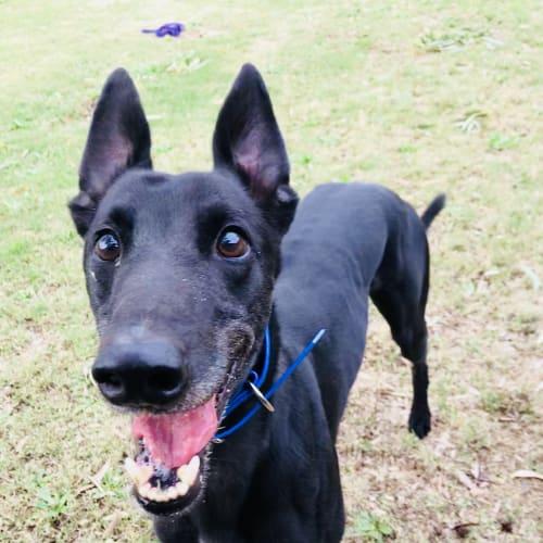 Dingo - Greyhound Dog