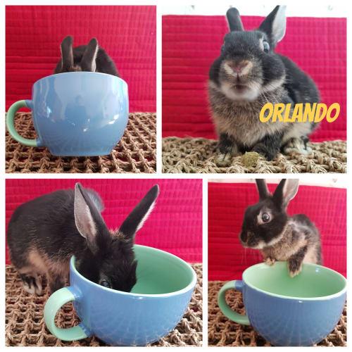 Orlando - Netherland Dwarf Rabbit