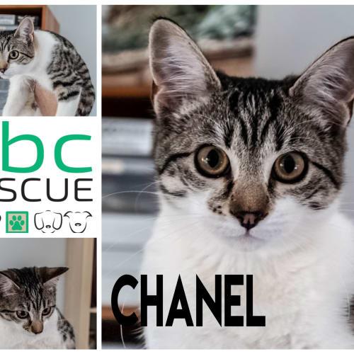 Chanel - Domestic Short Hair Cat