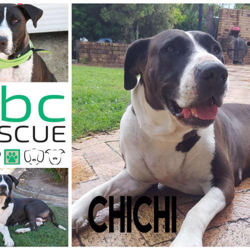 Chichi - Bull Arab x Great Dane Dog