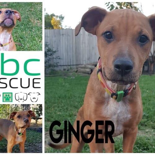 Ginger - Staffy Dog