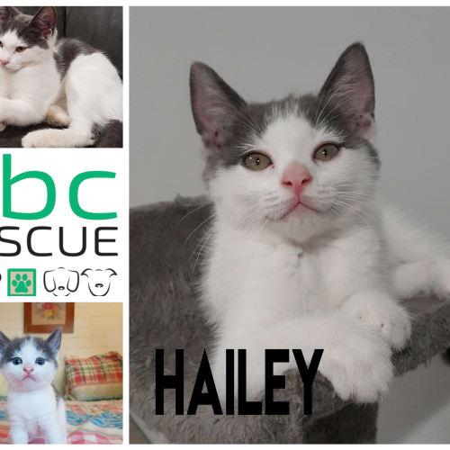Hailey - Domestic Short Hair Cat