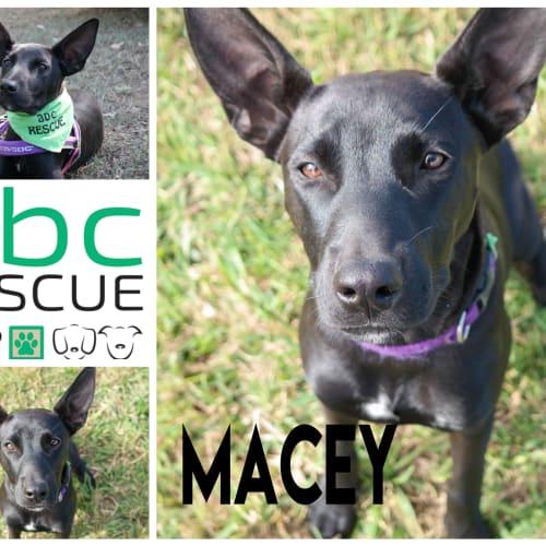 Macy - Kelpie Dog