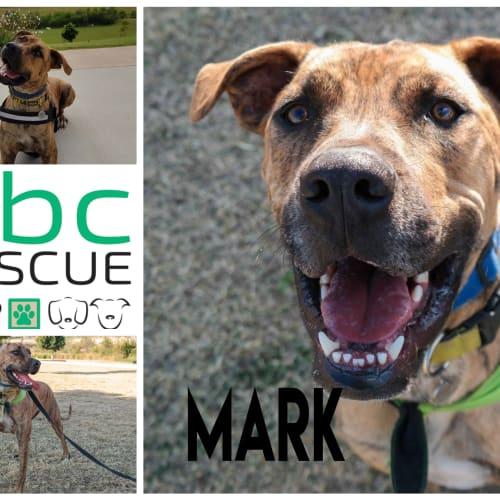 Mark - Boxer x Mastiff Dog