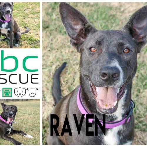 Raven - Mastiff Dog