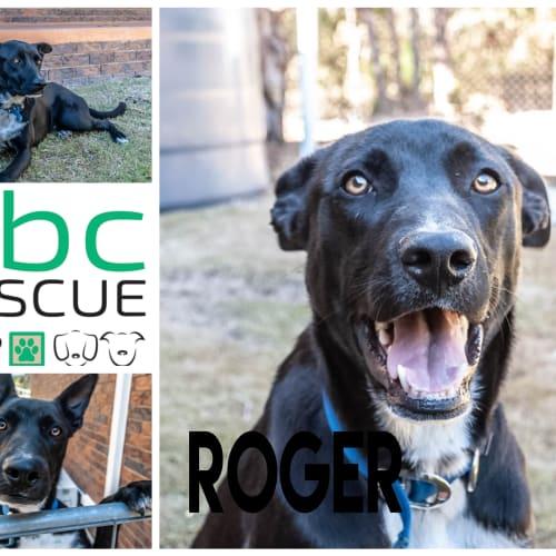 Roger - Border Collie x Mastiff Dog