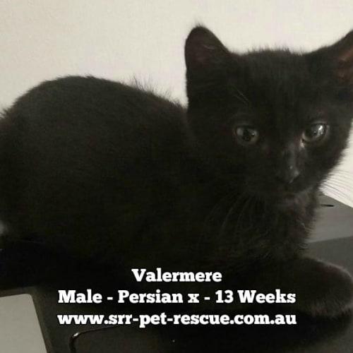 Valermere - Persian Cat