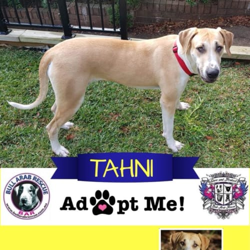 Tahni - Bull Arab Dog