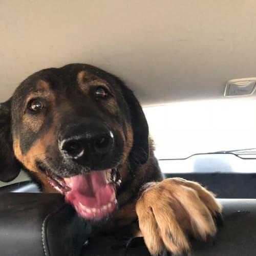 Sookie - German Shepherd x Rottweiler Dog