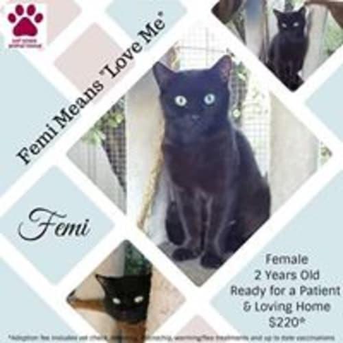 Femi - Domestic Short Hair Cat