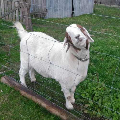 Chester the Cheeky -  Goat