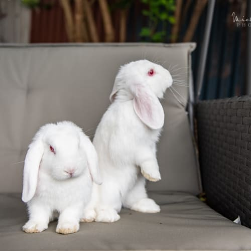 Romeo & Juliet - Lop Eared Rabbit