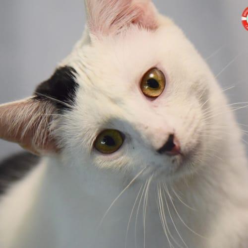 Minee - Domestic Short Hair Cat