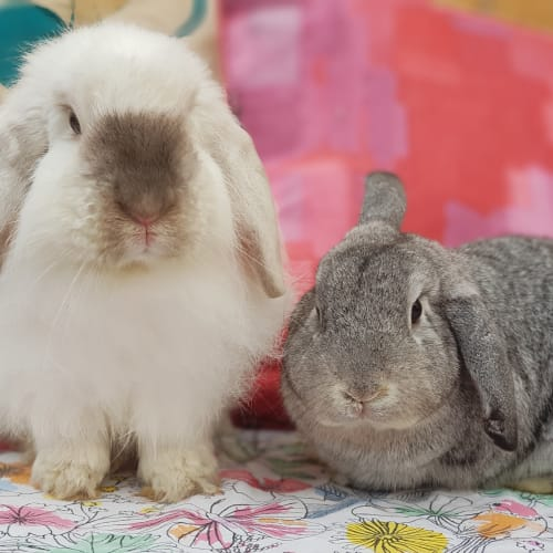 Peppa and Maxi - Lop Eared Rabbit