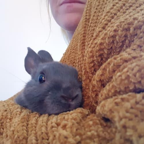 Olivine - Netherland Dwarf Rabbit