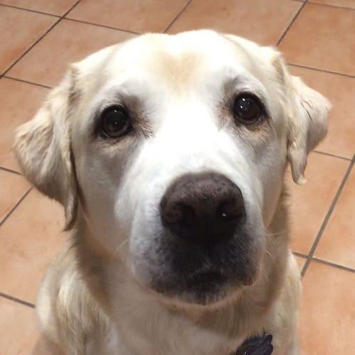 Sonny - Labrador Dog