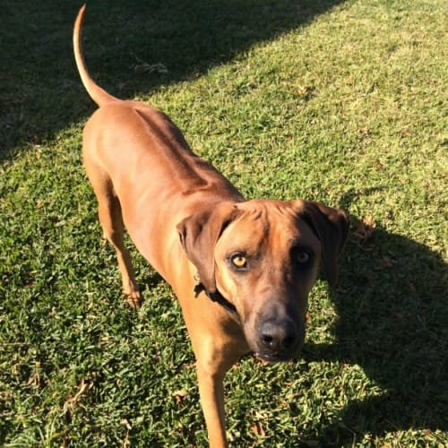 Toby - Assisted Rehome - Rhodesian Ridgeback Dog