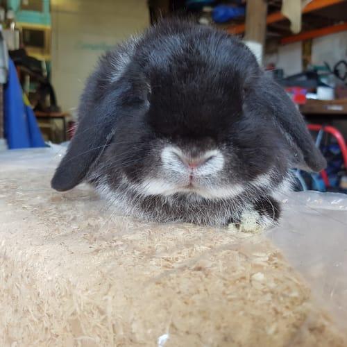 Mini lop doe - Mini Lop Rabbit