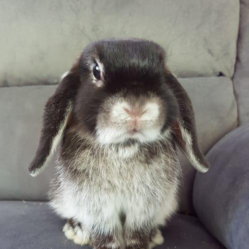 Annie - Mini Lop Rabbit