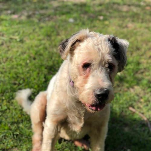 Grace - Bullmastiff x Old English Sheepdog