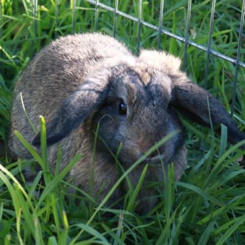 Clover 896149 - Lop Eared Rabbit