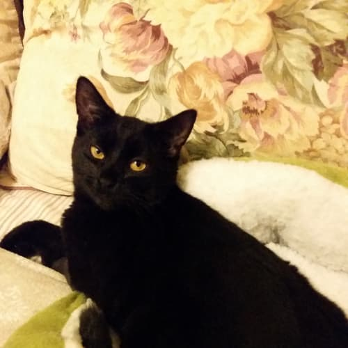 Desi (To be adopted with Lucy) - Domestic Short Hair Cat