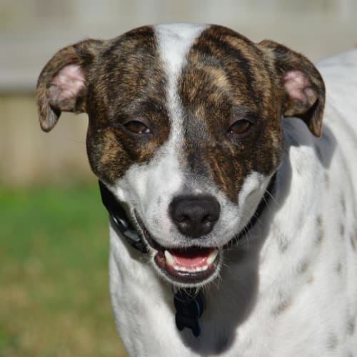 Billy - Fox Terrier x Staffordshire Bull Terrier Dog
