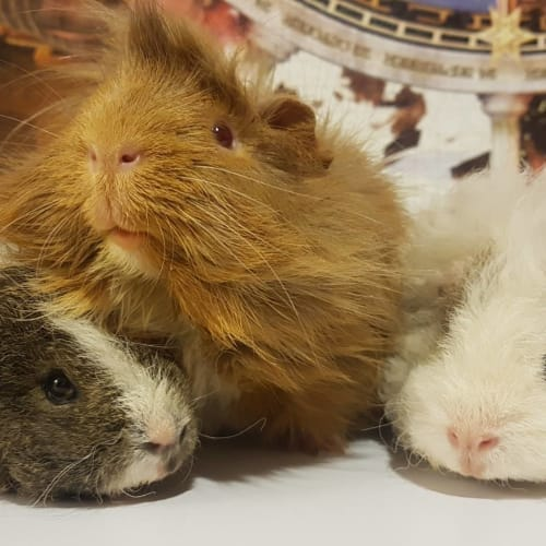 Ulysses, Mr. Jones and Neptune -  Guinea Pig