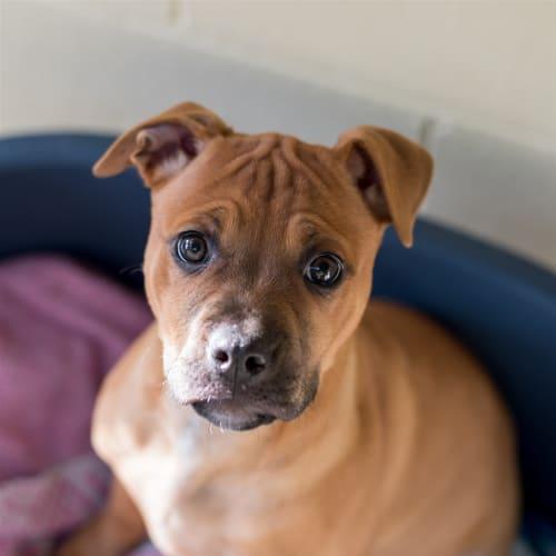 Allie - Mastiff x Staffordshire Bull Terrier Dog