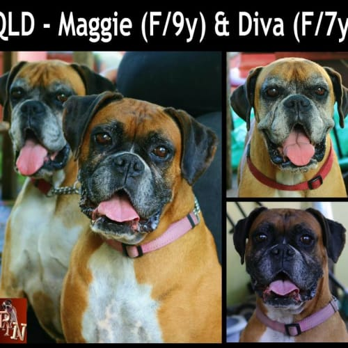Bonded pair - Maggie (f/9y) and Diva (f/7y) - Boxer Dog