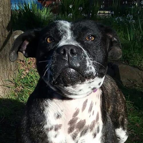 Blossom - Staffordshire Bull Terrier x English Staffordshire Bull Terrier Dog