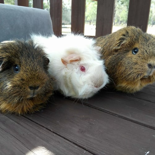 Cookie, Crystal and Jessie -  Guinea Pig