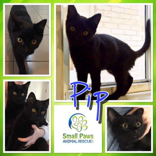 Pip - Domestic Short Hair Cat