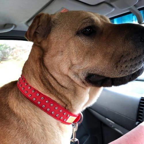Charisse - Shar-Pei x Staffy Dog