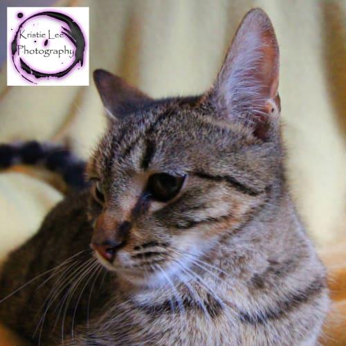 Gabriel - Domestic Short Hair Cat