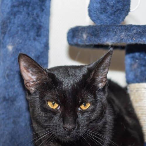 AK2336 - Black Jack - Domestic Short Hair Cat