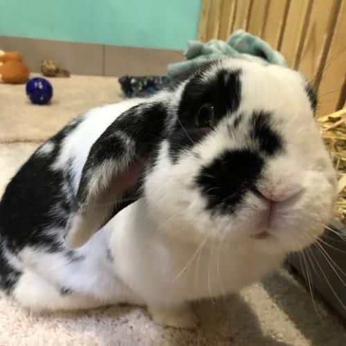 Ollie  - Dwarf lop Rabbit