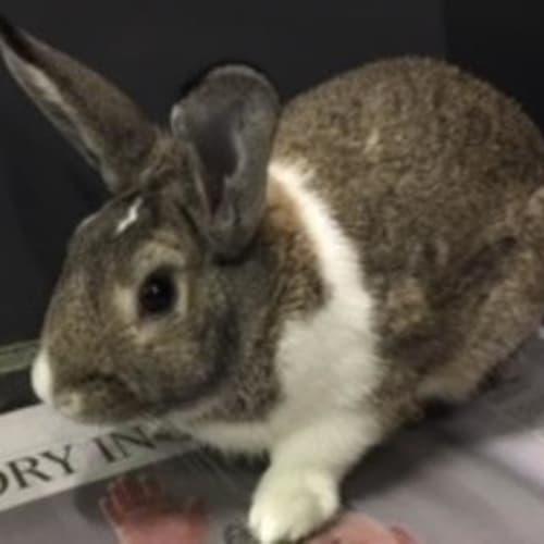 Quince 892370 - Domestic Rabbit