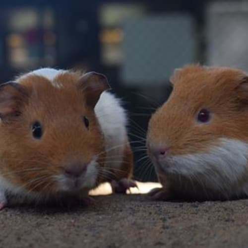 Ambei and Ruby 891871 - Smooth Hair Guinea Pig