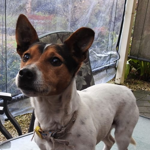 Milo - Jack Russell Terrier Dog