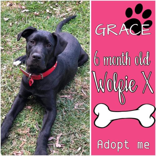 Grace - Labrador x Wolfhound Dog