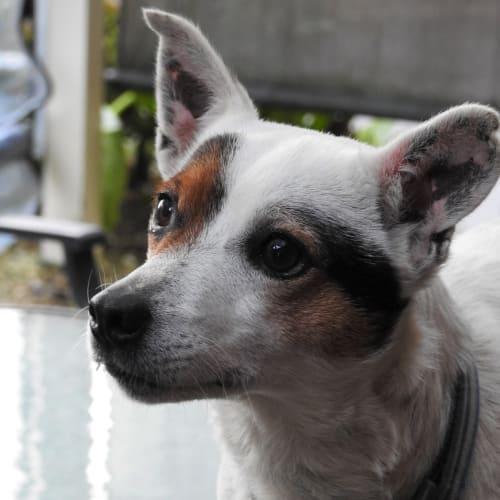 Phantom - Jack Russell Terrier Dog