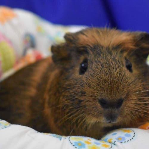 Newton -  Guinea Pig