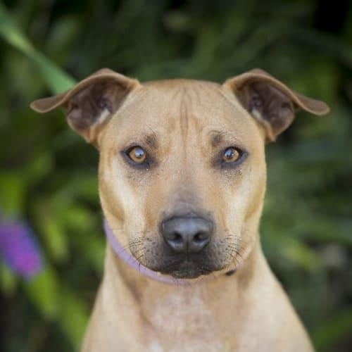 Dingo - Whippet x American Staffordshire Bull Terrier Dog