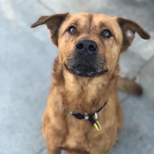 Hamish - Cross Misc, Large Dog